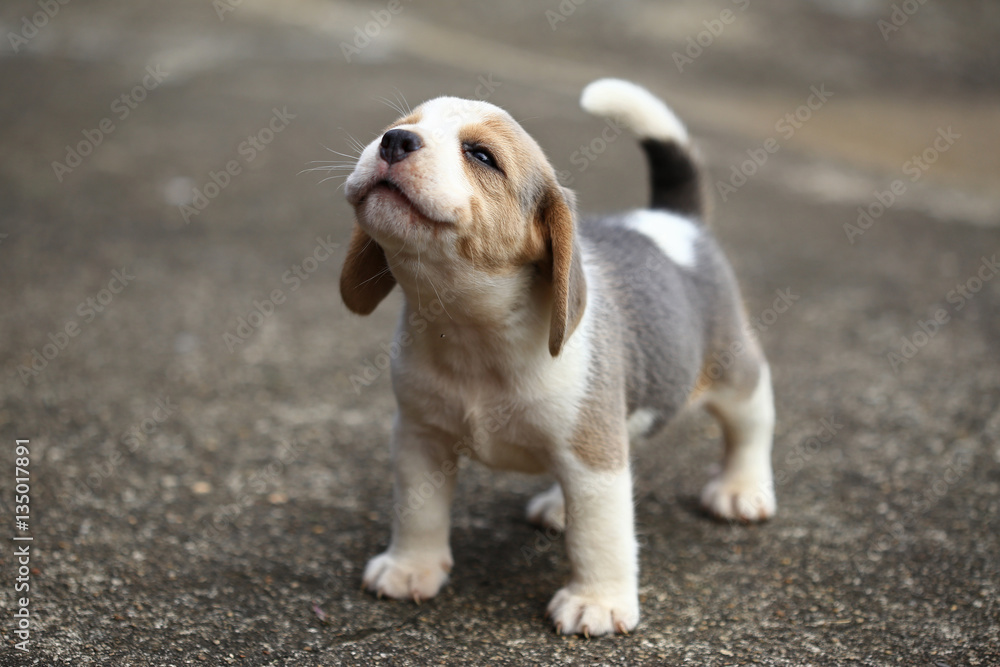 Fototapety, obrazy: purebred beagle puppy is learning the world in first time