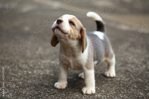 Fototapeta purebred beagle puppy is learning the world in first time obraz