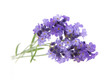 Closeup of lavender flowers isolated on a white background.