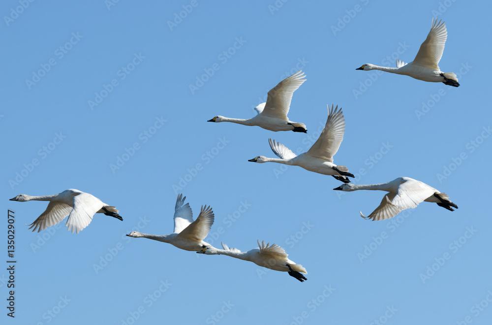 飛ぶ白鳥達