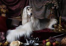 White Afghan Hound Dog
