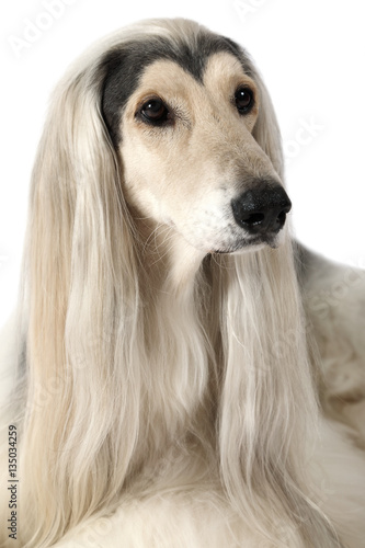 Portrait of Afghan hound dog Canvas Print