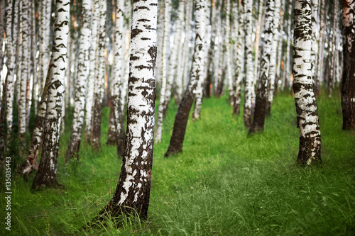 Photo Stands Birch Grove summer in sunny birch forest