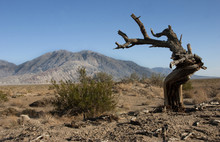Dry Tree In The Desert Mountains In The Background, Smrti Valley, California