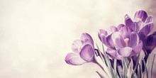 Vintage Spring Crocus Flowers