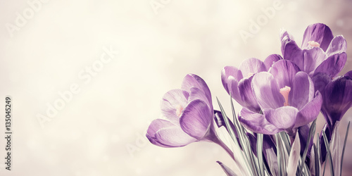Photo sur Toile Crocus Vintage Spring Crocus Flowers
