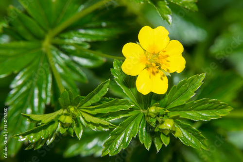 Foto  Small yellow flower of Galangal (erect cinquefoil)