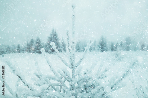 Fototapety, obrazy: snowy winter landscape in the Christmas forest
