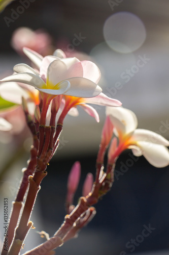 Tuinposter Magnolia Plumeria flower pink and white frangipani tropical flower, plume