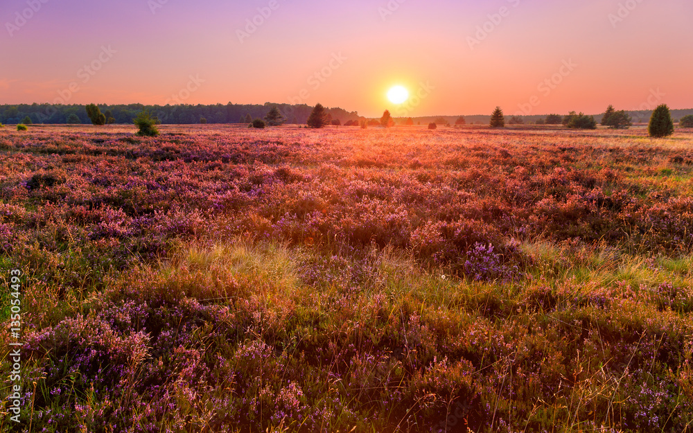 Fototapety, obrazy: Sunset in the Luneburg heather