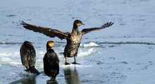 Cormorants,Great Cormorant, Phalacrocorax Carbo, Black Cormorants Lets Its Wings Dry In The Sun At Frozen Ice And Snow Covered Danube River In Zemun, Belgrade, Serbia.