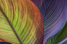 Canna Leaves Close-up