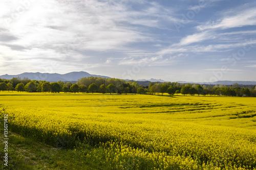 Fiori Gialli Toscana.Campo Di Fiori Di Colza Gialli Panorama Toscana Italia Buy