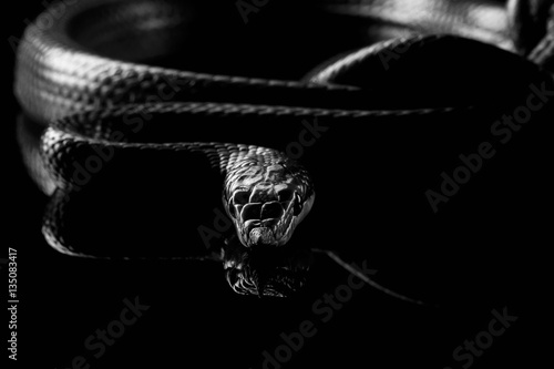Green long nosed snake, Rhinoceros Ratsnake isolated on black background with reflection