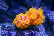 Tubastraea Corals. Sun-Flower ...
