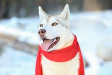 Happy Siberian Husky Wearing S...