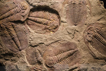 Fossil Trilobite Imprint In Th...