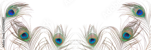 Peacock feather isolated on white background. Close up.