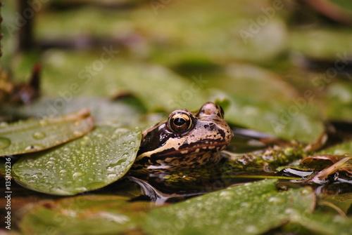 Fotografie, Obraz  żaba w rdestnicy, rana temporaria