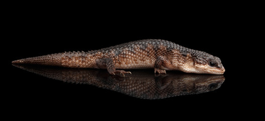 Fototapeta brown skink, tropidophorus baconi on isolated black background with reflection, wild reptile