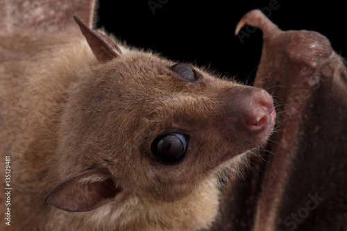 Close-up Egyptian fruit bat or rousette, Rousettus aegyptiacus. on isolated black background