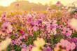 Leinwandbild Motiv Cosmos flowers blooming in the morning
