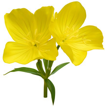 Narrowleaf Evening-primrose