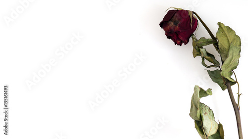 A dry red rose with white background Fototapet