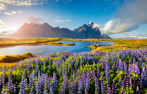 Foto auf Leinwand Insel Blooming lupine flowers on the Stokksnes headland on the southeastern Icelandic coast. Iceland, Europe. Artistic style post processed photo.