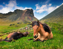 Developed From Ponies - Icelandic Horses.
