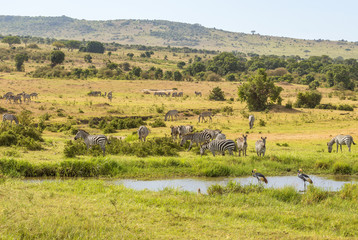 Zebras and cranes at a watering hole in the savanna