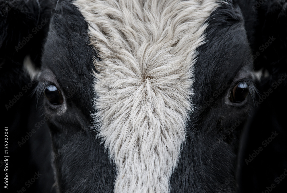 Fototapety, obrazy: Cow, face close up