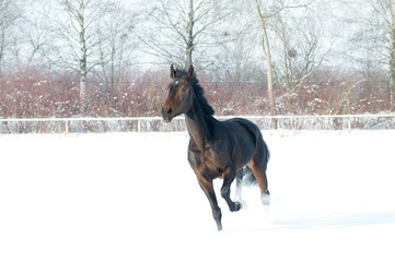 Horse bay color running on white snowy fiel