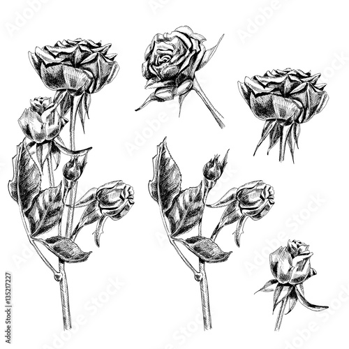 Set Of Roses Flowers Buds Stem And Leaves On White Background