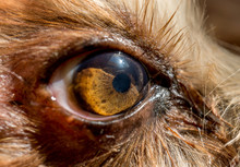 Dog's Eye Macro Detail, Yorkshire Terrier Brown Dog Close-up Yorkshire Terrier Brown Color Doggie. Expressive Doggy Look