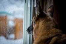 German Shepherd Looking Out Pa...