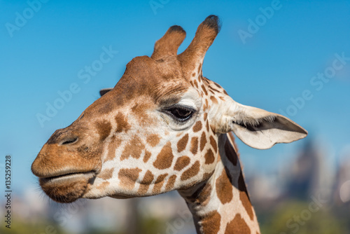 Tuinposter Giraffe Close up of giraffe against blue sky on the background