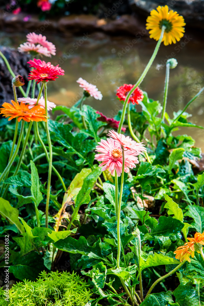 Gerbera flowers with drop in garden