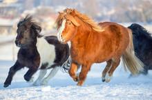 Pony Herde Galoppiert Im Schnee
