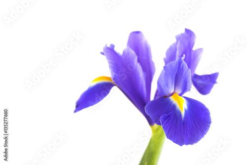 Spoed Foto op Canvas Iris Close-up beautiful iris isolated on white background