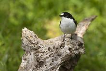 Pied Flycatcher In Nesting Plumage .Ficedula Hypoleuca
