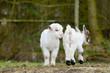 white goat kids standing on pasture