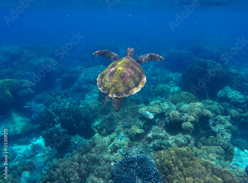 Poster Tortue Sea turtle and coral reef. Green turtle swimming in deep blue sea.