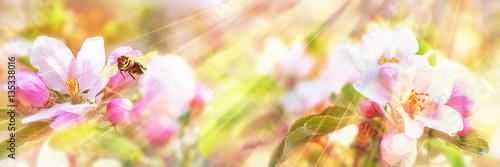 Obrazy kwiat jabłoni   pszczola-miodna-odwiedzajaca-kwiat-jabloni