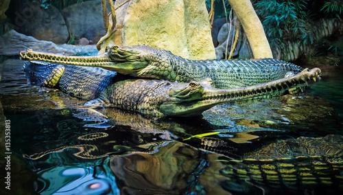 couple of the crocodiles