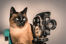 Siamese Cat Posing As Film Dir...