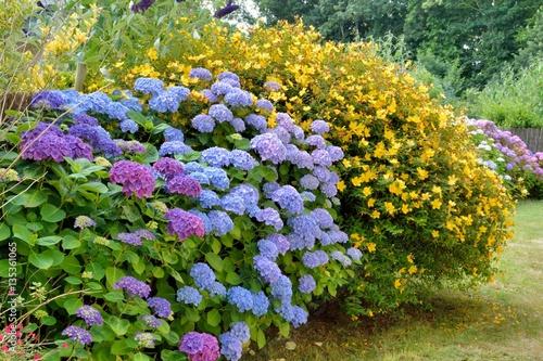 Joli massif d\'hortensias dans un jardin en Bretagne - Buy this stock ...