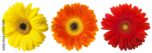 Big Selection of Colorful Gerbera flower (Gerbera jamesonii) Isolated on White Background. Various red, yellow, orange