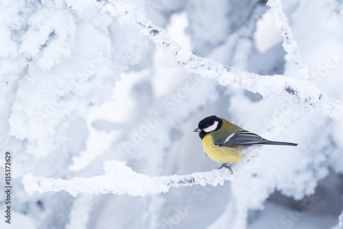Leinwand Poster Great tit (Parus major) in a white winter landscape
