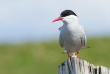 Portrait Of An Arctic Tern
